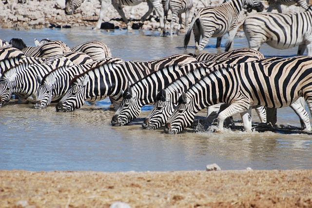 zebry u vody